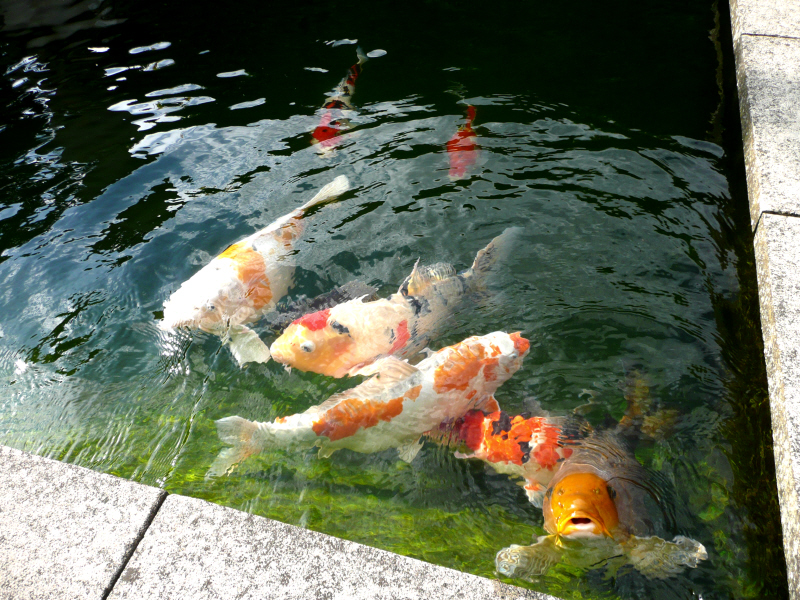 The Koi Pond Project